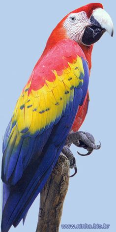 arara colorida Exotic Birds, Colorful Birds, Colorful Parrots, Pretty Birds, Beautiful Birds, Animals And Pets, Cute Animals, Bird Drawings, Bird Pictures