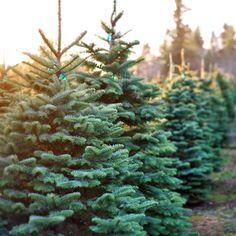 Brad de Craciun - www.lamaisondesjardins.ro #brad #craciun #baneasa #bucuresti #romania # sarbatori de #iarna #fir #tree #christmass #winter #celebration