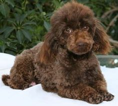 I love this chocolate colored poodle!! Look at that face!