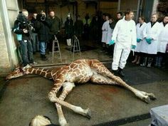 VOICE outrage at the KILLING of Marius at Copenhagen Zoo
