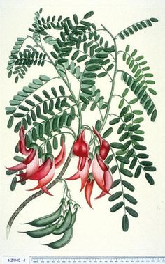 Clianthus, commonly known as Kakabeak (Kowhai ngutukaka in Maori), is a plant genus comprising two species of woody legume shrubs native to New Zealand. illustration of Clianthus puniceus is attributed to Daniel Mackenzie Vintage Botanical Prints, Botanical Drawings, Botanical Art, Vintage Prints, Plant Illustration, Illustration Artists, Illustrations, Asian Plants, Australian Painting