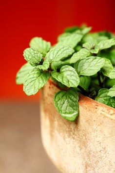 How to Grow Mint: Mint grows quickly however, it can take over, so keep it in its own pot; is a perennial.  Water frequently until the plants become well established and then you can back off a bit. Keep the soil moist. Container plants will need to be watered a little more often as they tend to dry out fast.  Prune back large mint plants if you're not harvesting regularly. Overgrown mint produces poor flavored leaves. | Grow This! Also READ http://bonnieplants.com/growing/growing-mint/