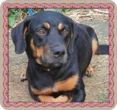 Marietta, GA - Hound (Unknown Type)/Rottweiler Mix. Meet ALLIE - see video a Dog for Adoption.