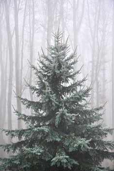 What a beautiful tree. I have never had a real tree before . that's gonna change when I find a tree like this Merry Christmas To You, Noel Christmas, Winter Christmas, All Things Christmas, Winter Snow, Winter Scenes, Snow Scenes, Christmas Inspiration, Belle Photo