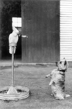 """""""Whacko"""" the cockatoo and """"Cobber"""" the dog. 1943. Australian War Memorial collection."""