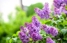 It's lilac season. Celebrate with these 12 surprising lilac facts Small White Flowers, Lilac Flowers, Orange Flowers, Spring Flowers, Butterfly Weed, Syringa, Sun Loving Plants, Drought Tolerant Plants, Plant Health