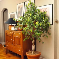 Weeping Fig - Bright indirect light; allow the soil to dry out between waterings; 60-75 degrees F; keep away from cold drafts Size: 4-15 feet tall indoors  Note: Plants might drop leaves if moved to a different location but will recover with time.