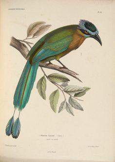 mudwerks:    n436_w1150 (by BioDivLibrary)  Iconographie ornithologiqueParis :Chez Friedrich Klincksieck [etc., etc.],1849 [i.e. 1845-1849]biodiversitylibrary.org/item/109479