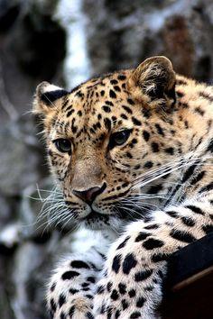 Leopard, Tier, Katze, Gepard, Amur, Zoo, Wild, Raubtier