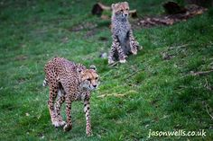 Pair of cheetah cubs.  You can buy this image & see my other wildlife images by clicking on the thumbnail. #cheetah #cubs