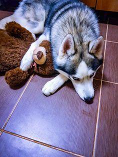 Jack, the husky dog. And his  teddy bear