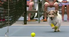So Here's What Happens When 2 Dogs Help Out With a Tennis Game. Adorable!!!