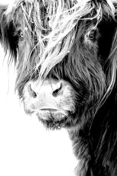 island of silence Farm Animals, Animals And Pets, Cute Animals, Black Photography, Animal Photography, Regard Animal, Miniature Cows, Fluffy Cows, Highland Cattle