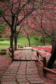 Flores de cerezo - Taiwan.