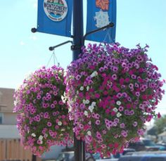 how to make beautiful hanging baskets! Now this is the kind of hanging basket I want! Now if it would remember to water itself!