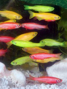 GloFish - Wikipedia, the free encyclopedia