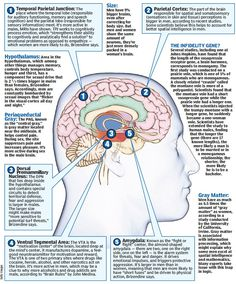 The Male Brain (from Neuroscience Research Techniques on Facebook)