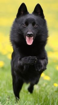 There is nothing better than a Schipperke