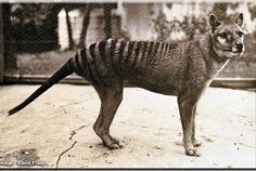 Thylacine Research Unit - Historical Photos