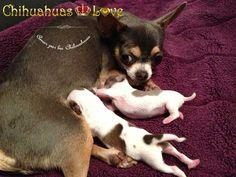 Chihuahuas Love - Lactancia Cachorros Chihuahua. Camadas de Chihuahuas Lactantes.