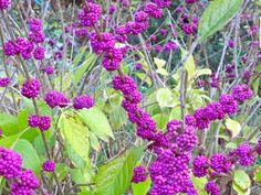 Beauty berry at Fenrock Farm.