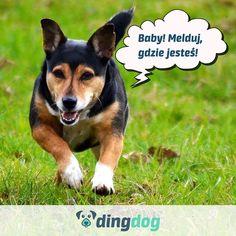 Nie stawaj na drodze do szczęścia swojemu psu  Załóżcie konto na DingDog. #DingDog #merdamyświat Corgi, Babe, Fox, Animals, Instagram, Corgis, Animales, Animaux, Animal
