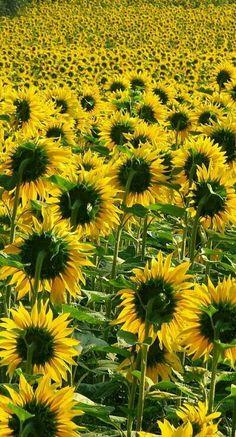 zonnebloemen zoeken de zon kant op, vandaar hier de achterkant van de bloem.