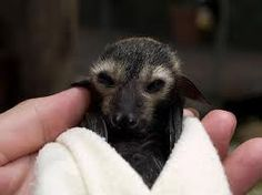 Spectacled Flying Fox Bat Baby