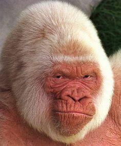 Resultados de la Búsqueda de imágenes de Google de http://actualidad.orange.es/UpImages/3392/copito_de_nieve_el_unico_gorila_albino_del_mundo_04c023ad92124a3e1b2948f3f.jpg