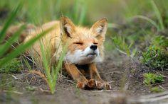 "500px / Photo ""Stretching fox."" by Igor Shpilenok"