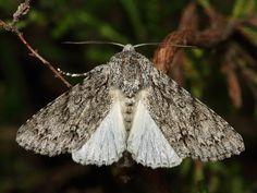 Šípověnka maďalová Acronicta aceris (Linnaeus, 1758) - Fotografie motýlů z české přírody   Koláčkova galerie motýlů. Insects, Animals, Animales, Animaux, Animal, Animais