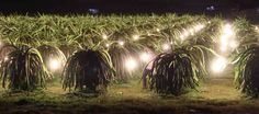 #VietNam #DragonFruit Orchards Bloom in New Light #VietnameseFarmers #agriculture  This Southeast Asian delicacy requires the long daylight hours of summer to blossom and bear fruit. Many Vietnamese farmers rely on artificial lighting during the shorter days of the off season to ensure a year-round harvest and a year-round income.  Check more at https://adalidda.net/?cat%5B0%5D=agro