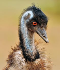 See a real Emu
