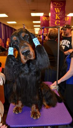 Gordon Setter - getting ready to go into the show ring.  Gotta keep those pretty ears clean and dry.