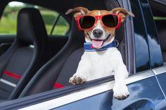É cada vez mais comum as pessoas viajarem de carro na companhia dos seus cães. Mas antes de pegar a estrada é preciso ficar atento a uma série de detalhes. Saiba mais...