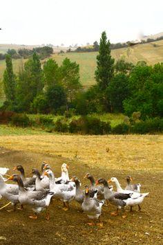 Patrick's farm / Eleveur et Conserveur - Foie gras / Languedoc Roussillon Country Cottages, French Country Cottage, Country Charm, Country Life, Country Living, Moss Garden, Dordogne, Poses For Pictures, Foie Gras