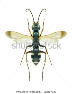 Wasp Cryptocheilus variabilis on a white background - stock photo