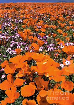 Panorama Califonria Poppies And Hollyleaf Gilia Wildflowers | Photo by Dave Welling with Pin-It-Button on FineArtAmerica