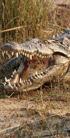 Discover why strange stones have been found in the stomach of a crocodile. Discover why strange stones have been found in the stomach of a crocodile. Crocodile Marin, Crocodile Animal, Nile Crocodile, Saltwater Crocodile, Reptiles Facts, Les Reptiles, Reptiles And Amphibians, Mammals, Pets
