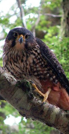 New Zealand Falcon or Kārearea (Falco novaeseelandiae) is New Zealand's only endemic falcon and the only remaining bird of prey endemic to New Zealand.