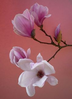 ~~branche de magnolia by peltier patrick~~. ☼ ஜℓvஜ ✨❁⊰ SA Feb 2018 ⊱⛩☮️☸️ॐ⛩✨❁↠ ஜℓvஜ ☼ Flowers Nature, My Flower, Flower Art, Pink Flowers, Beautiful Flowers, Flor Magnolia, Magnolia Flower, Magnolia Branch, Flowering Trees