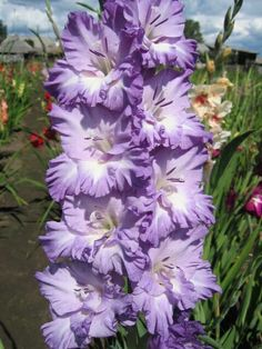 Gladiolus 'Blue Waterfall'