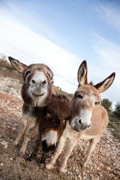 Donkeys near Aix en Provence, Provence, France