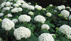 advice about hydrangea