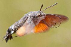 Das Taubenschwänzchen ist eine Insekten Art