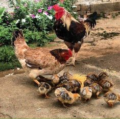 On the farm. Baby Chickens, Chickens And Roosters, Raising Chickens, Chickens Backyard, Vegan Animals, Farm Animals, Animals And Pets, Cute Animals, Beautiful Chickens