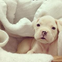 white boxer puppy! Looks like one of Lae's pups!! SOOOOOO CUTE!!