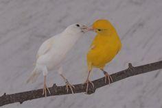 Oui le canaris est amoureux