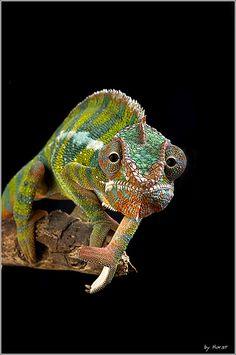 Chamäleon Furcifer pardalis | Flickr - Photo Sharing!