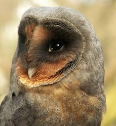 Rare Black Barn Owl. Rare due to both genetics AND the Owl parents being confused and killing them. Odds are nearly ONE in a MILLION.